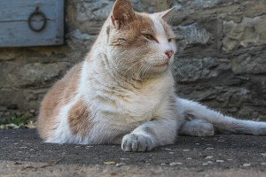 Woodford Reserve's resident cat, Elijah, who passed away on June 30, 2014. Photo ©2011 by Mark Gillespie.
