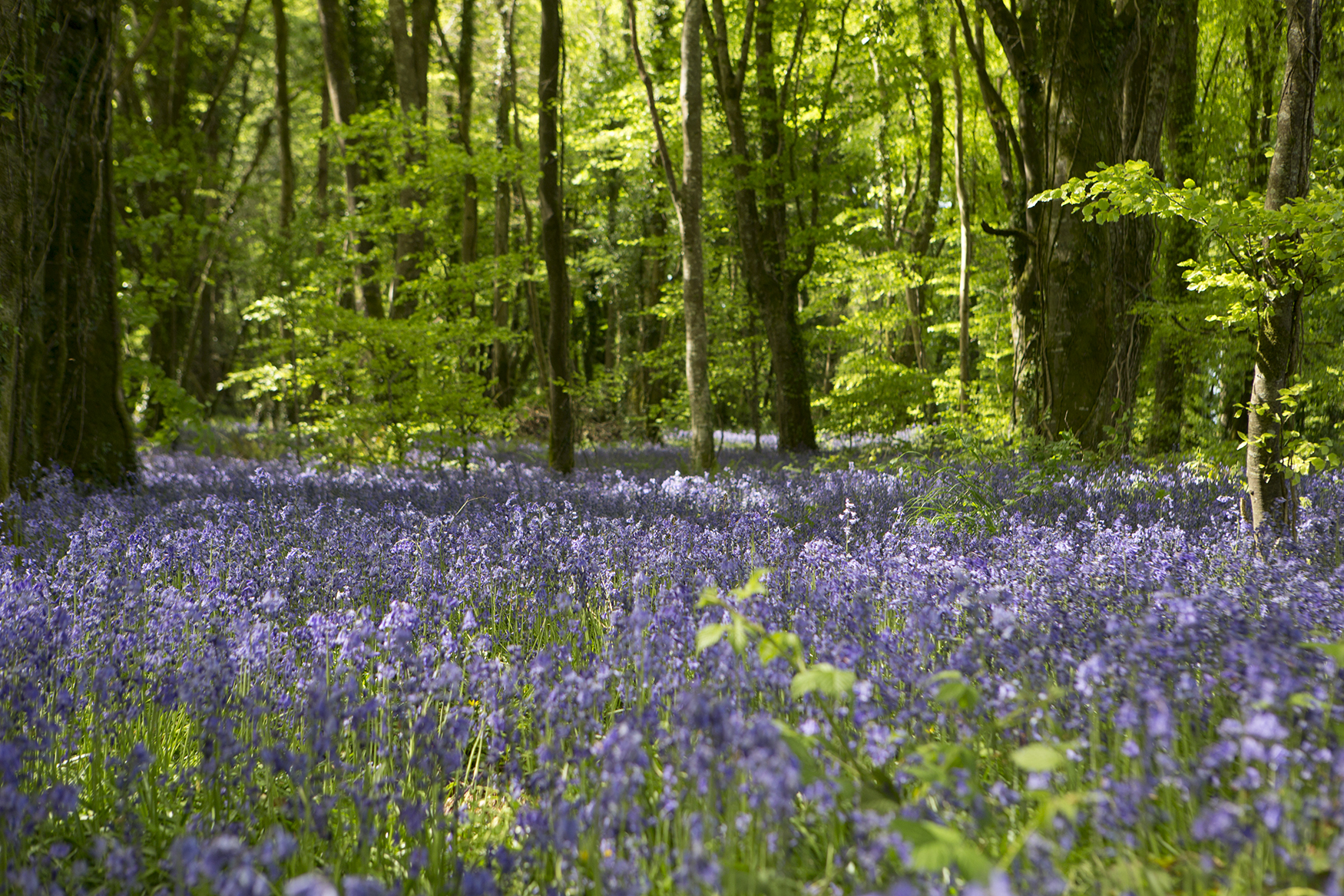 The Bluebell Forest at Castle Blunden Estate in Ireland. Photo courtesy Irish Distillers Pernod Ricard.