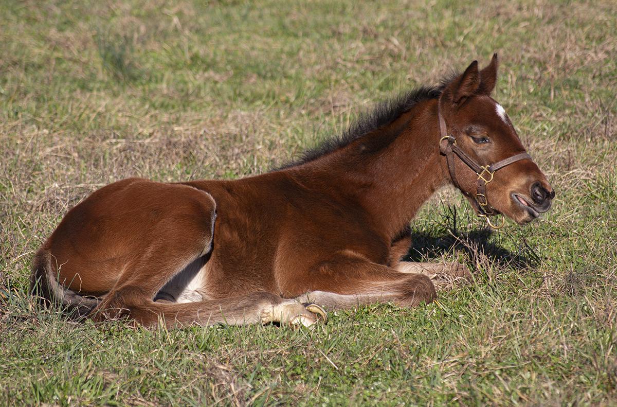 A young colt resting in a field near Versailles, Kentucky. File photo ©2020, Mark Gillespie/CaskStrength Media.