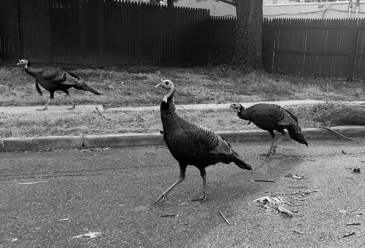 """What do these birds walking through our New Jersey neighborhood have to do with whisky? Well, they're Wild Turkeys, of course! This week, author David Jennings joins us on the podcast to talk about his new book """"American Spirit: Wild Turkey Bourbon from Ripy to Russell."""""""